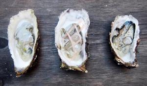 Déclinaison d'huîtres