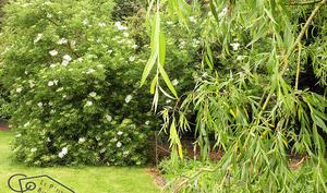L'arbre magique: le sureau