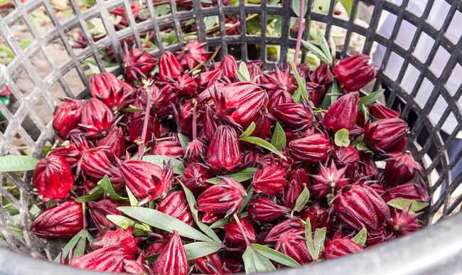 Boutons de fleurs d'hibiscus