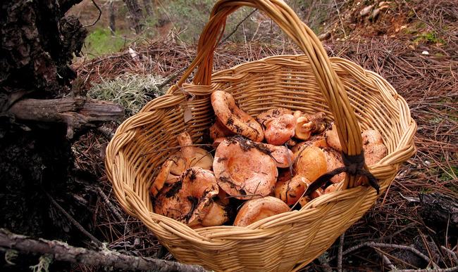 Récolte de champignons sanguins.