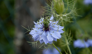 Nigelle en fleur