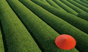 Champs de thé vert