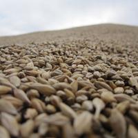 Montagne de graines de blé